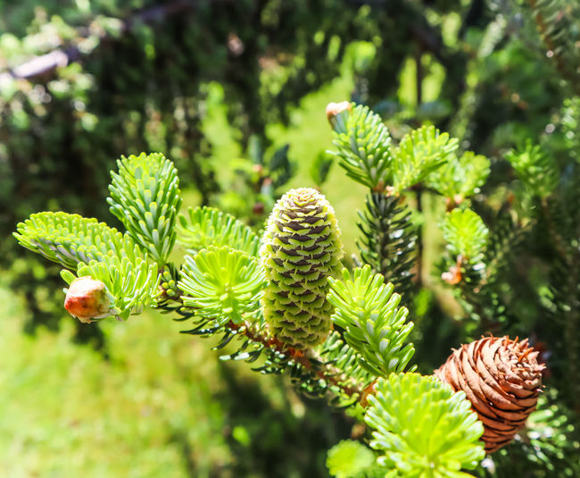 A branch of Korean fir with young cone in spring garden Backdrop Background Beautiful Botanical Branch Bright Closeup Color Cone Conifer  Coniferous Day Decoration Decorative Detail Environment Evergreen Fir Flora Forest Fresh Garden Gardening Green Holiday Holidays Korean Landscape Leaf Leaves Macro Majestic Natural Nature Needle Outdoor Outdoors Park Pine Plant Romantic Scenery Scenic Season  Spring Springtime Spruce Summer Sunny Tree