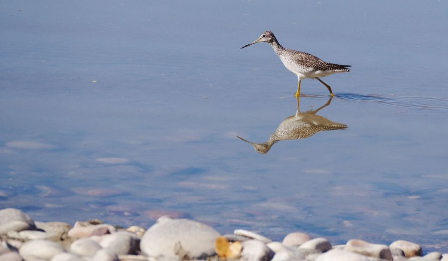 Shore bird hunting Reflection Reflections In The Water Lake Shore Bird Long Billed Dowitcher Wyoming Wildlife Wyoming Landscape Wyoming Animal Animal Themes Bird Animal Wildlife Animals In The Wild Vertebrate Group Of Animals Water Nature Flying Day No People Full Length
