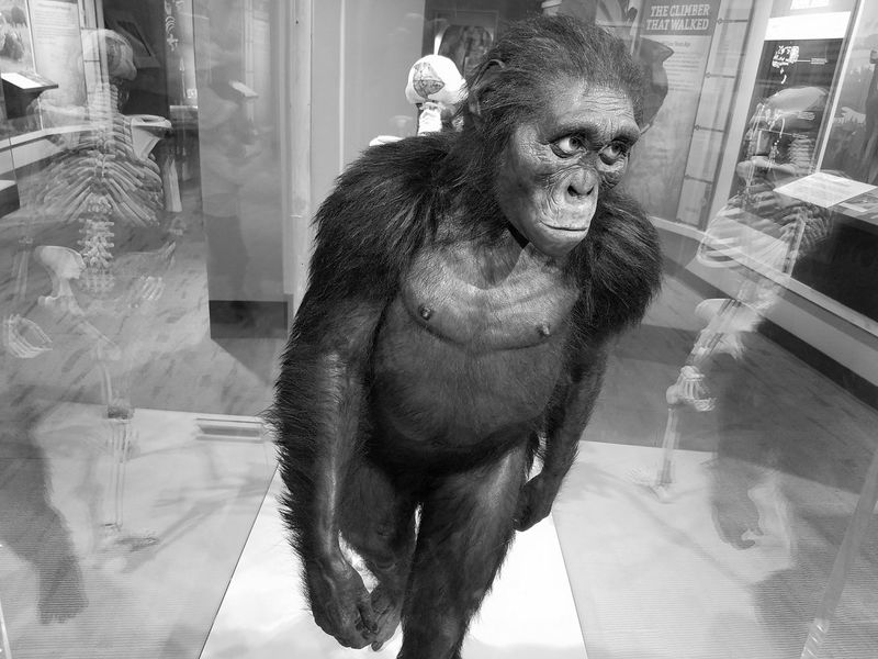 """""""Lucy"""" (Australopithecus) AL 288-1 is 3.2 million year old. She was discovered in Ethiopia by paleoanthropologist Donald Johanson of the Cleveland Museum Of Natural History in 1974. Bnw_friday_eyeemchallenge Theme is Museum Time Indoors  History Museum  Reflection Skeleton Skeletal Remains Anthropology Low Light Exibit Bnw Black And White Black & White Museum Museum Of Natural History Glass Reflections Portrait Black And White Collection  Favorite Places Places I've Been Today Arts Culture And Entertainment The Portraitist - 2017 EyeEm Awards"""