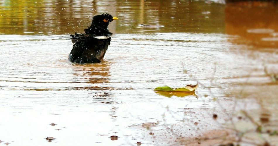 Water Reflection Nature Lake No People Day Outdoors Motion Bird Splashing Water Water Droplets Black Park Garden Beating The Heat Morning Sun Freeze Shots Macro Photography Close-up Water Puddle Leaf 🍂 Yellow Beak