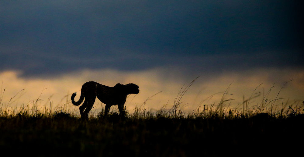 Silhouette Cheetah Standing On Field Against Sky At Sunset