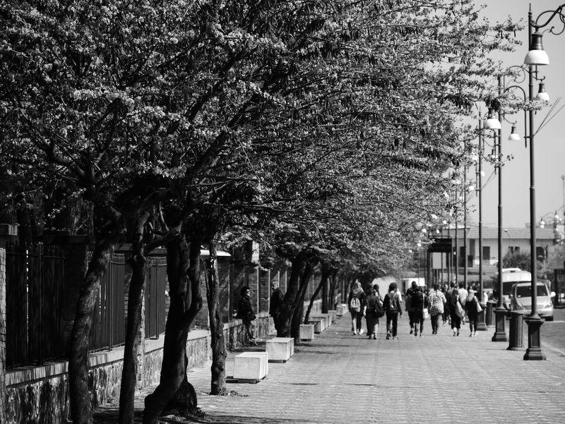 Black & White Tree Lantern Street Pompeii  Italy Rose Tree