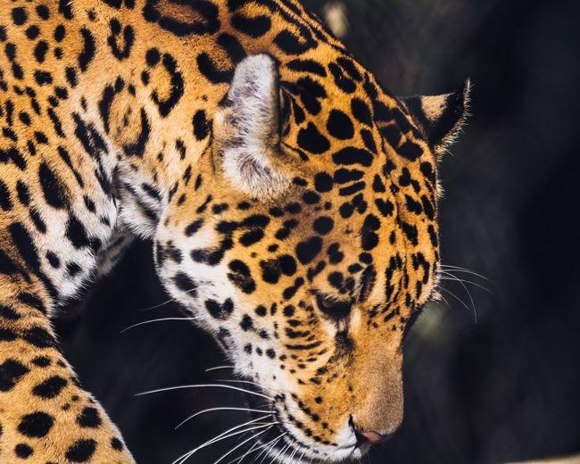 Jaguar Wildlife Wildlife & Nature Amsterdam Artis  Zoo EyeEm Selects One Animal Spotted Animal Themes Animals In The Wild Leopard Animal Wildlife Mammal No People Close-up Animal Markings Nature Outdoors Day First Eyeem Photo EyeEmNewHere