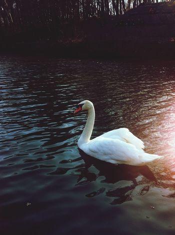 Swan Lake Beautiful Day