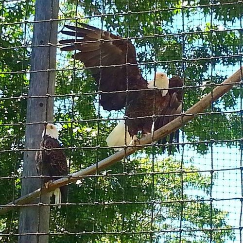 Our national symbol locked in a cage...was such a sad sight I had to capture it. __________________________________ Photographers Picoftheday Picoftheweek Photooftheday Instagood Instalike Instadaily Eagle Baldeagle Birds Birdsofinstagram Zoo Capemay Newjersey Sj  Southjersey Like Follow USA America Freedom Outdoors Explore Adventure