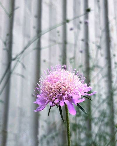 Flowering Plant Flower Plant Freshness Beauty In Nature Fragility Vulnerability  Close-up Day Purple Focus On Foreground Pink Color Nature Botany Inflorescence Growth Flower Head Outdoors No People