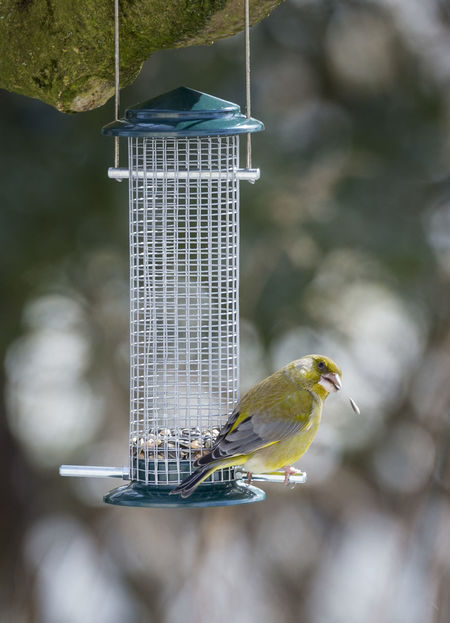 European greenfinch European Greenfinch Grünfink Animal Themes Animal Wildlife Animals In The Wild Bird Bird Feeder Chloris Chloris Day Focus On Foreground Nature No People One Animal Outdoors