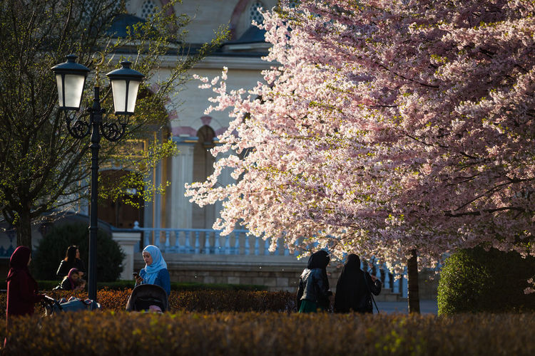 People on cherry blossom by tree