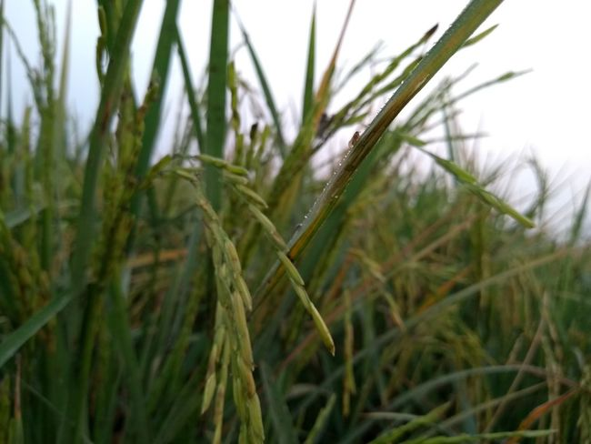 Agriculture Cereal Plant Grass Nature Growth No People Close-up Green Color Rural Scene Field Outdoors Day Plant Wheat Closing Freshness Sky Rice Paddy Second Acts