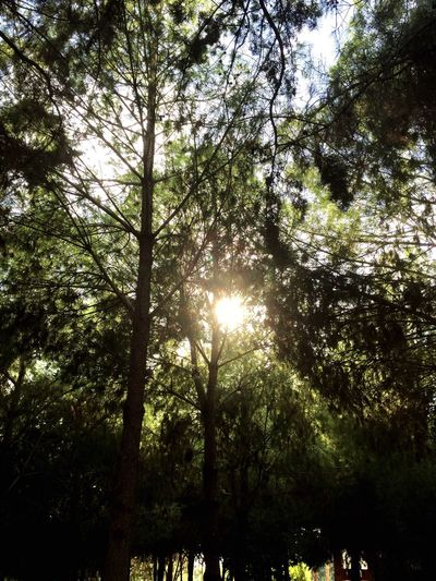 Tree Low Angle View Forest Growth Branch Nature Sun Tranquility Scenics Tranquil Scene WoodLand Tree Trunk Outdoors Day Green Non-urban Scene Sky Green Color Back Lit