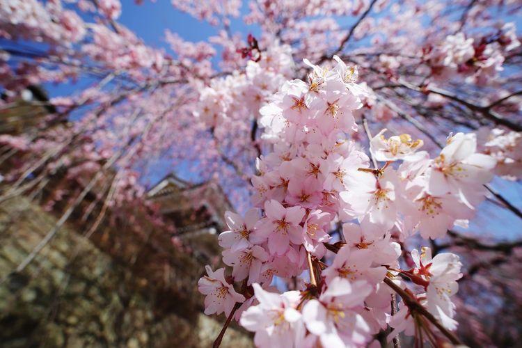 枝垂れた下からが好き🌸😍 春 Widemacro Nature 中華レンズ 老蛙 Laowa15mmf4 Naturephotography Wide Macro Flower Head Tree Flower Branch Springtime Pink Color Plum Blossom Blossom Apple Blossom Cultures Flower Tree