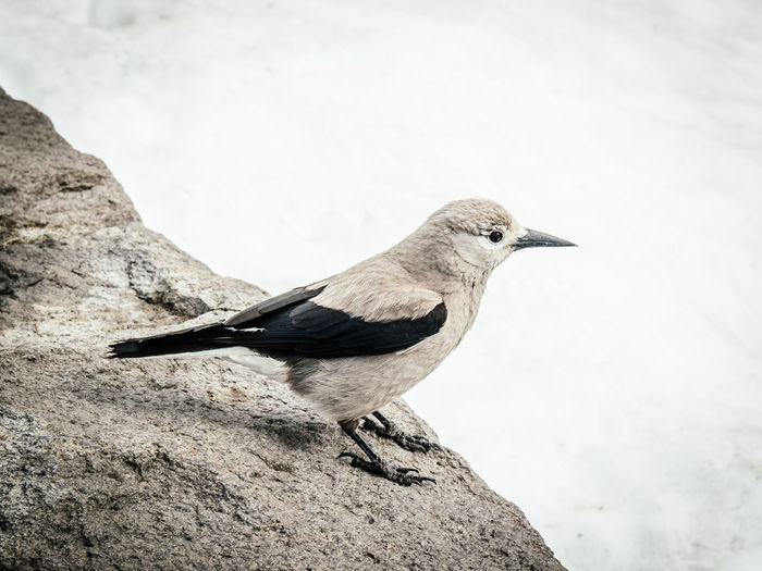 Black and white bird at Crater Lake in Oregon with snow in the background Animals In The Wild Crater Lake National Park Nature Oregon Animal Beauty In Nature Bird Close-up Little Bird Macro One Animal Outdoors Portrait Snow Wildlife