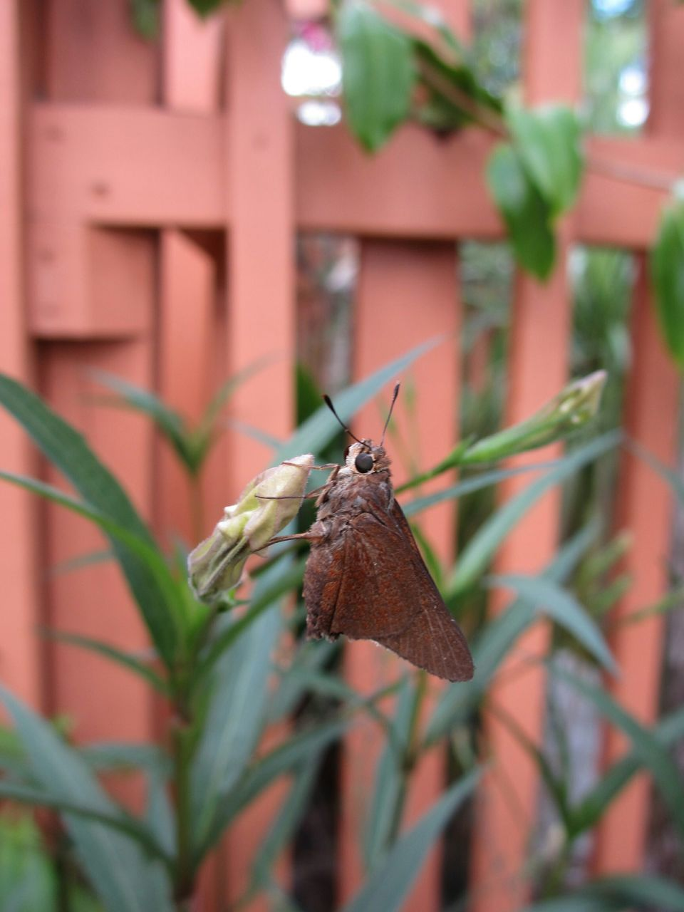 Close-Up Of Brown Moth On Flower