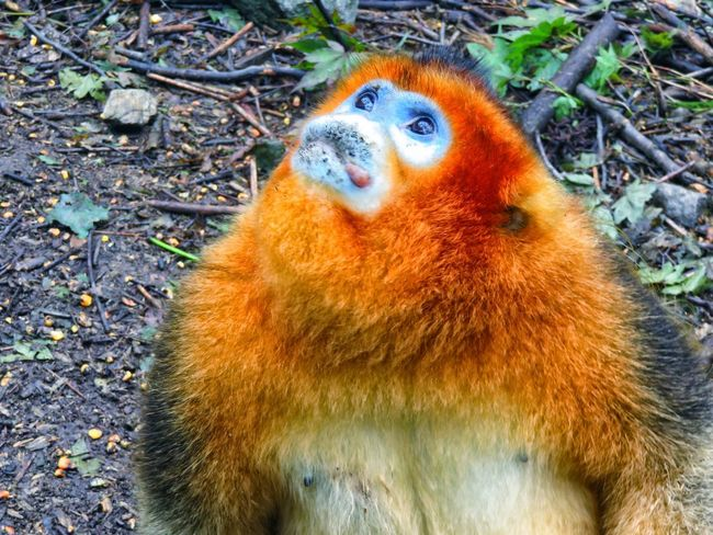 Adult Shanxi Province China Golden Monkey Ground Lookingup Primate Snub Nosed Golden Monkey