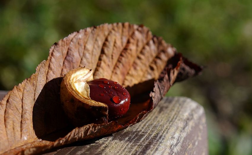 Beauty In Nature Chestnut Close-up Nature No People Outdoors First Eyeem Photo