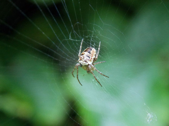 Arachnid Arthropod Beauty In Nature Close-up Insect Nature Spider Wildlife Insect Photo Insect_perfection Insect Paparazzi Insects Beautiful Nature Insect Macro  Insect Photography Insects Collection EyeEm Nature Lover
