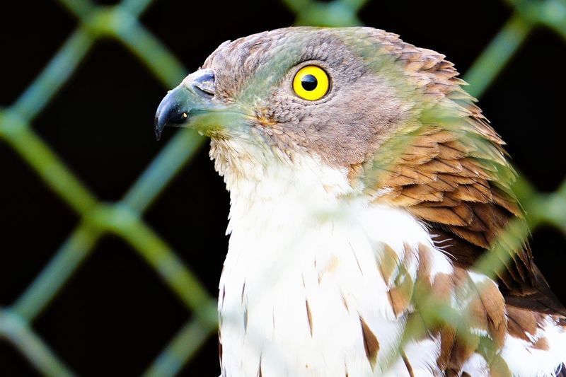 "European Honey Buzzard ""pernis apivorus"" Honey Buzzard EyeEm Selects Bird Black Background Bird Of Prey Reptile Beak Perching Portrait Eye Close-up"