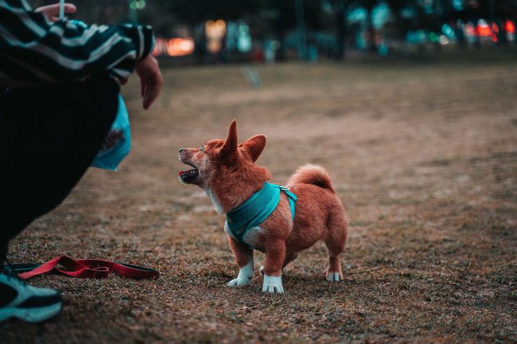 Jumped dog shiba inu corgi on grass