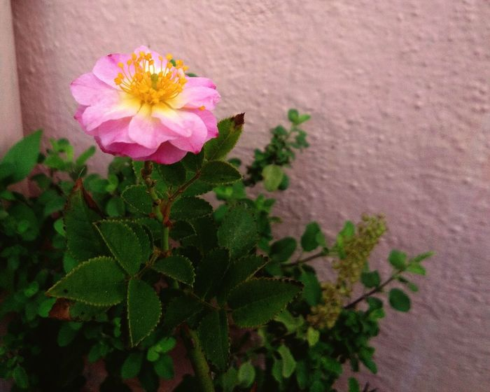 Flower Pink Color Beauty In Nature Plant Nature Petal Day Flower Head