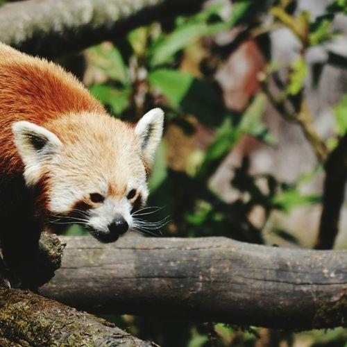 Redpanda Cutest Animal