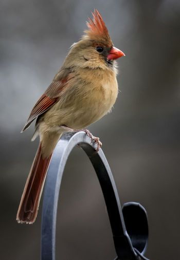 Posing on high Northern Cardinal Female Perch Animal Themes Animals In The Wild Bird Close-up Day Focus On Foreground Nature No People One Animal Outdoors Perching Plume