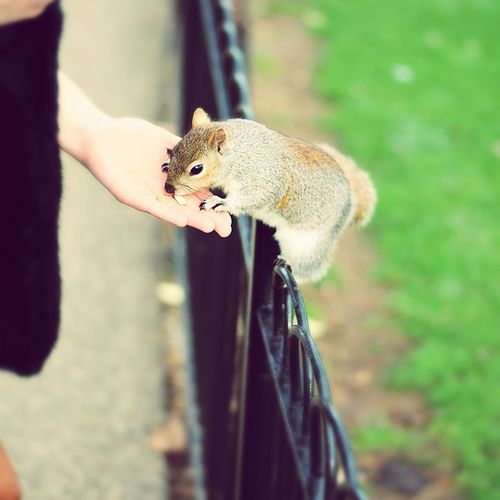 Cropped hand of person feeding squirrel on fence at park