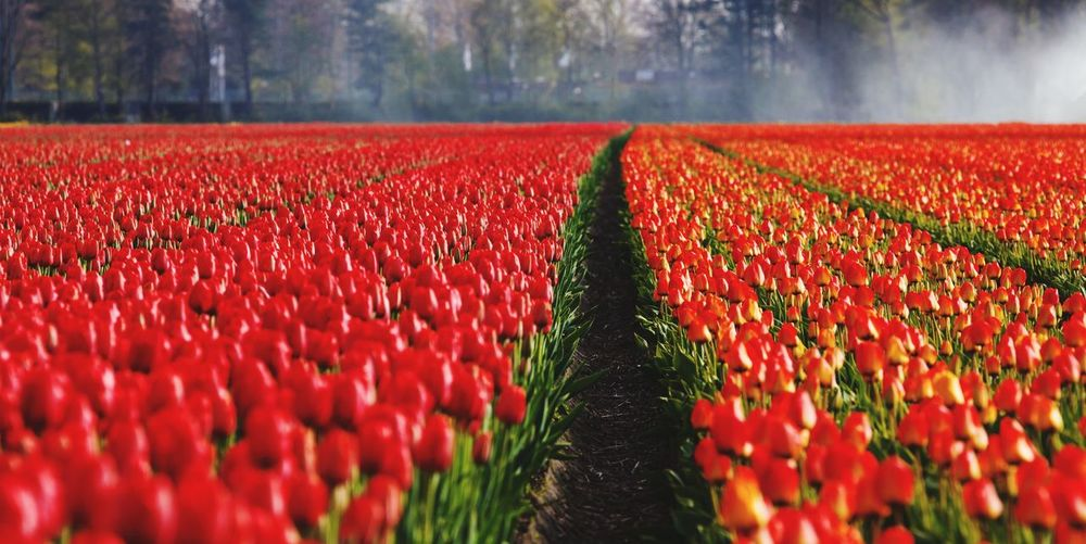 View of red tulips on field