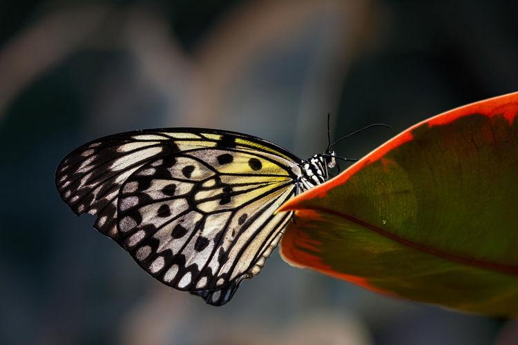Botanical Garden Botanischer Garten Idea Leuconoe Imago Lepidoptera Paper Kite Schmetterling Weiße Baumnymphe