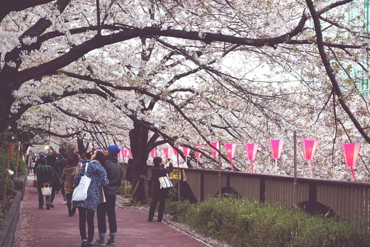 People Watching Walking Around Relaxing Japan Cherry Blossoms Tokyo