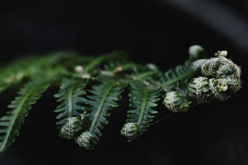 Black Background Leaf Marijuana - Herbal Cannabis Close-up Plant Green Color