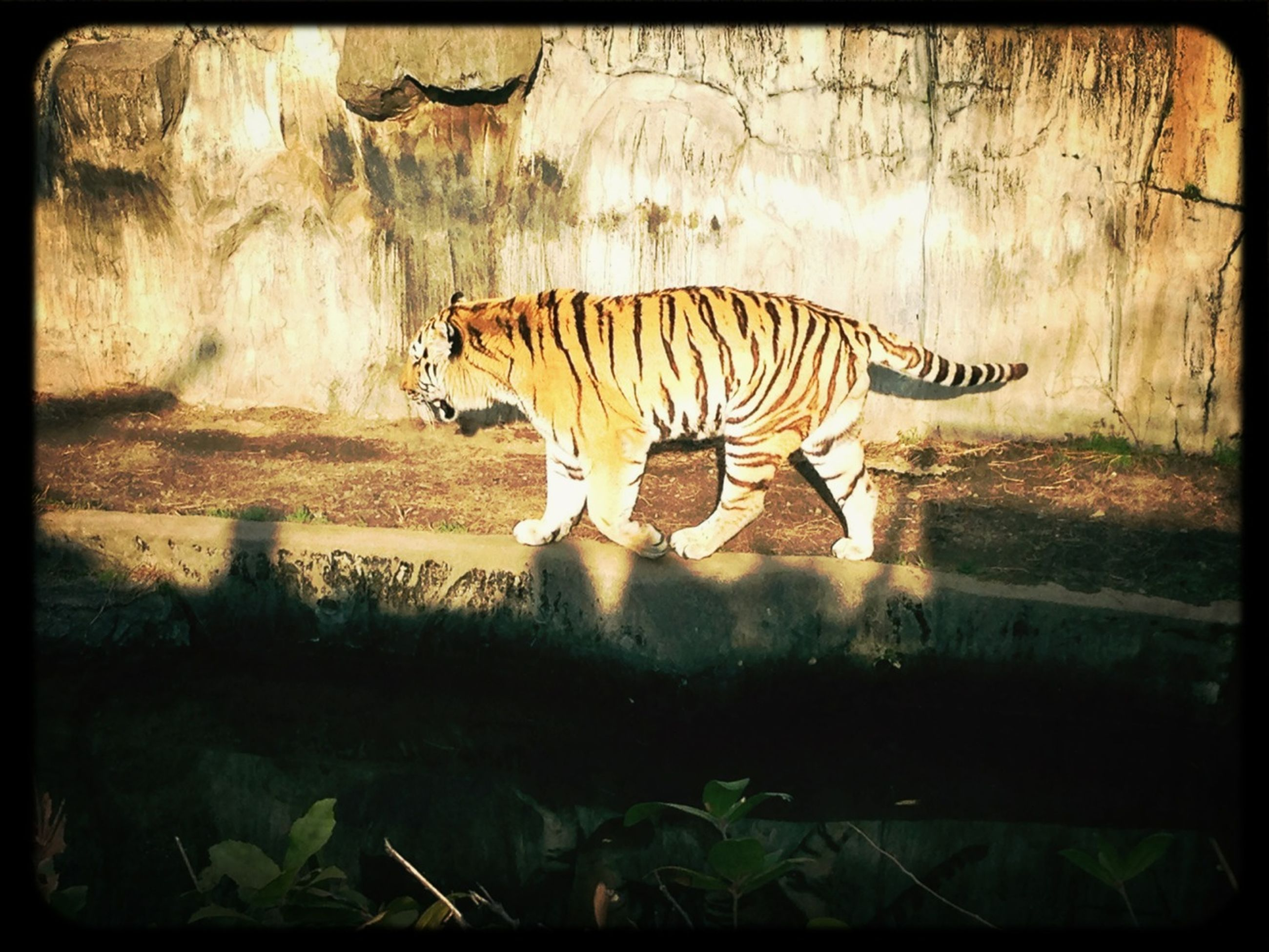 animal themes, animals in the wild, wildlife, one animal, transfer print, auto post production filter, animal markings, side view, safari animals, natural pattern, zoo, striped, nature, field, zoology, full length, outdoors, day, zebra, grass