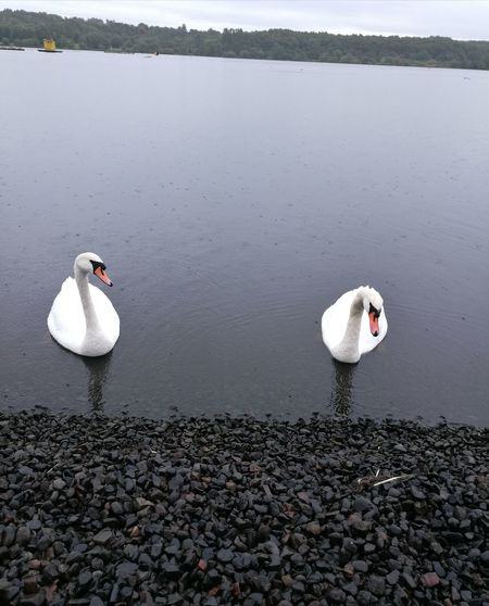 Lake Water Bird Nature Animals In The Wild Animal Wildlife Outdoors Day No People Animal Themes Beauty In Nature Swan