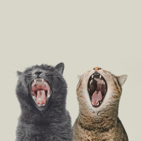 ShoutOut Anger Animal Behavior Animal Themes Animal Tongue Cat Cats Close-up Day Domestic Animals Domestic Cat Feline Mammal Mouth Open Nature No People Outdoors Pets Scream Studio Shot White Background Yawning Yawning Cat