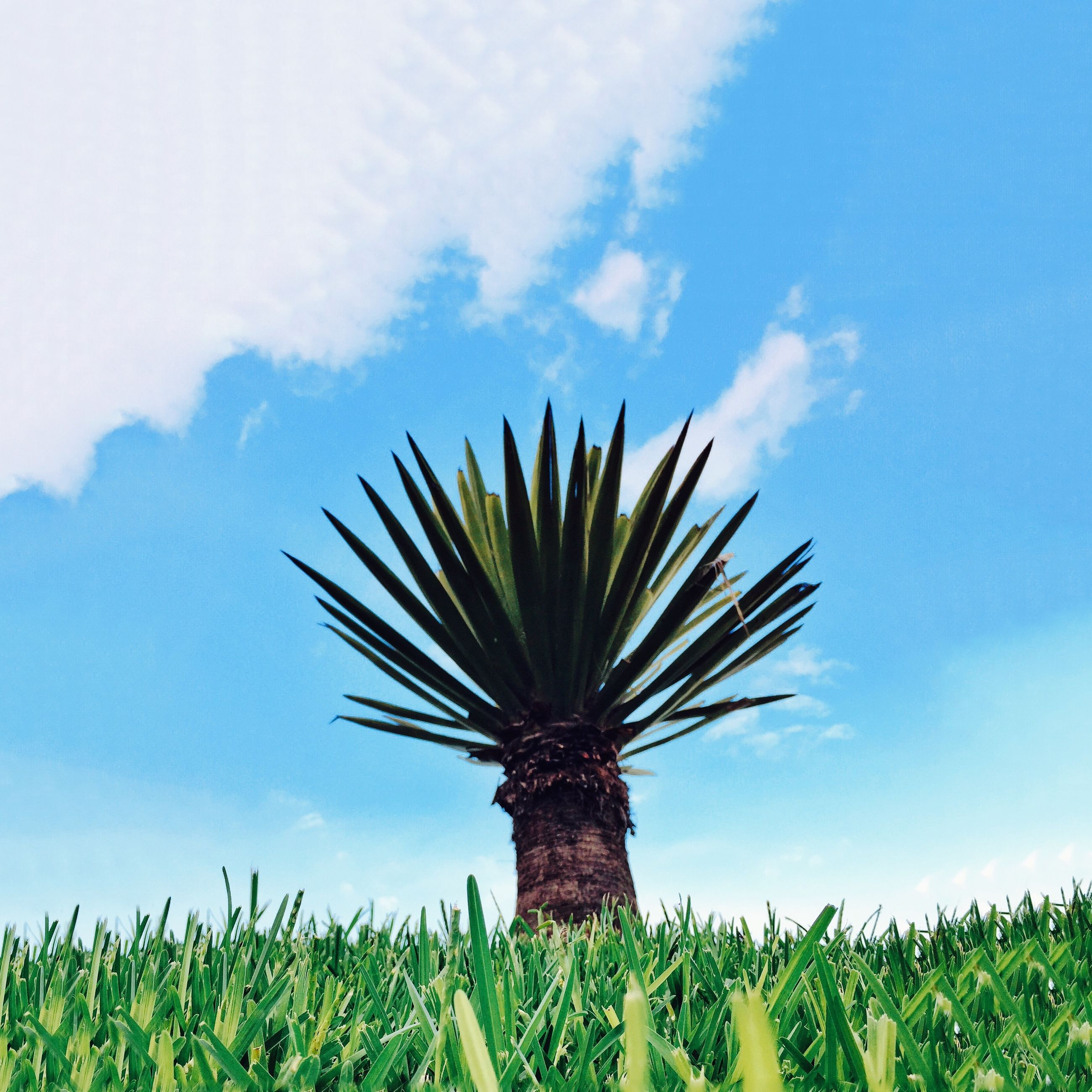 growth, palm tree, sky, low angle view, nature, tree, tranquility, beauty in nature, green color, tranquil scene, grass, plant, field, scenics, cloud, cloud - sky, growing, blue, day, single tree