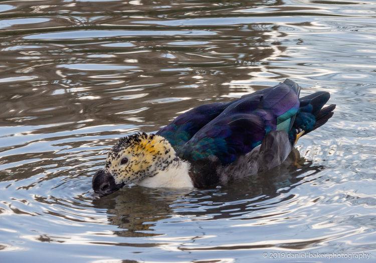 Animal Bird Water Rippled One Animal Lake Nature Reflection Duck