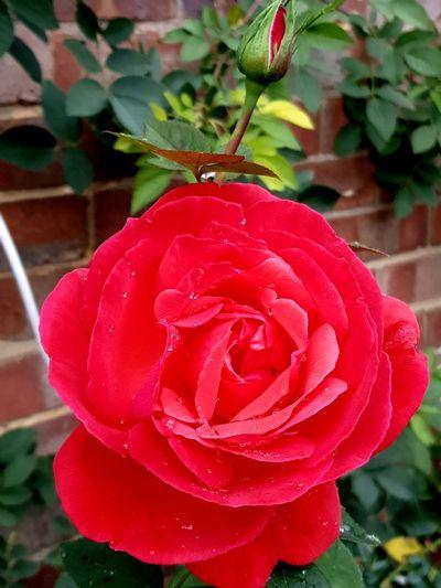 still blooming Flower Garden Rosé Close-up