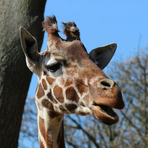 One Animal Animals In The Wild Giraffe Animal Wildlife Spotted Looking At Camera Mammal Nature Animal Themes Safari Animals Focus On Foreground Sky No People Day Tree Portrait Outdoors Close-up