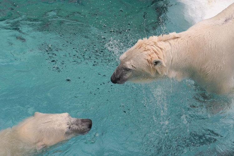 High Angle View Of Polar Bears Swimming In Pond At Zoo