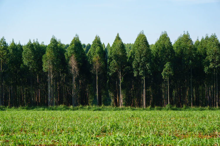 Panoramic View Of Trees On Field Against Clear Sky