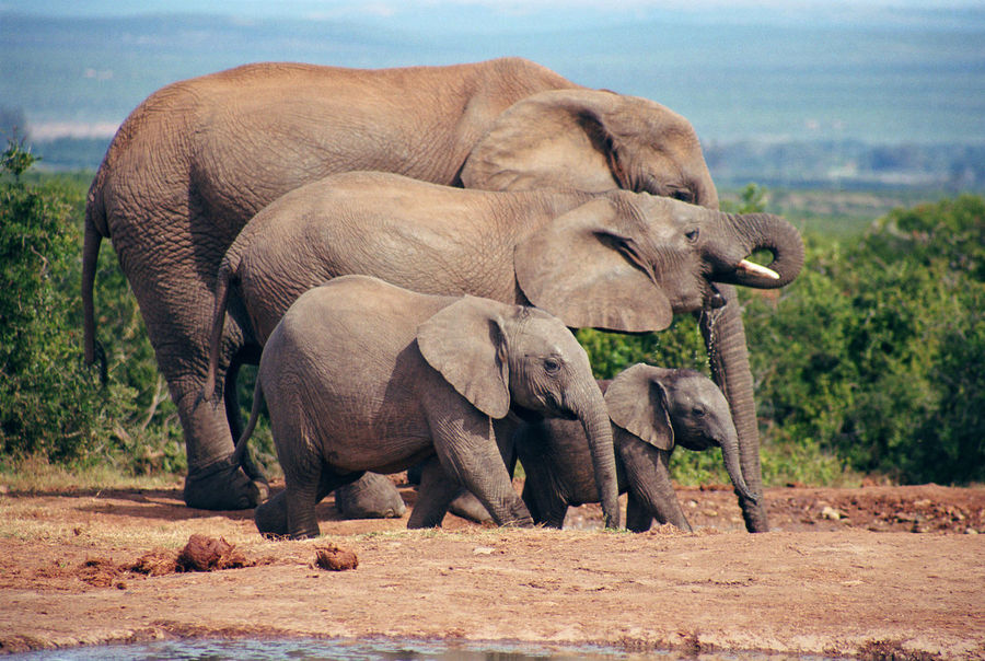 Africa Africa Wildlife Elephant Family Elephants Elephants,National Park,Wild Life, Wild , Mammals, Herbivores, Pachyderm,Zoo,National Park, Nature_collection South Africa Young Elephants Chance Encounters Shadows & Lights Peaceful View Live For The Story