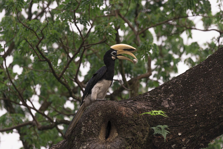 Oriental Pied Hornbill Animals In The Wild Animal Wildlife Vertebrate Animal Themes Tree Animal Bird Plant One Animal Focus On Foreground Branch Perching Nature Low Angle View Day No People Outdoors Beak Trunk Tree Trunk
