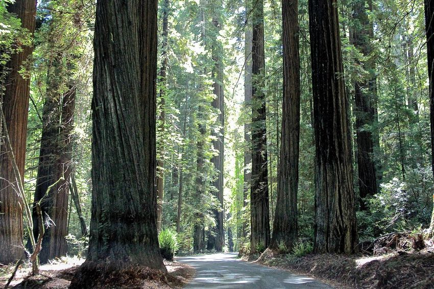 Beauty In Nature California Empty Forest Green Color Growth Idyllic Jedediah Smith Redwood State Park Nature Outdoors Scenics The Way Forward Tranquil Scene Tranquility Tree Tree Trunk Walkway WoodLand