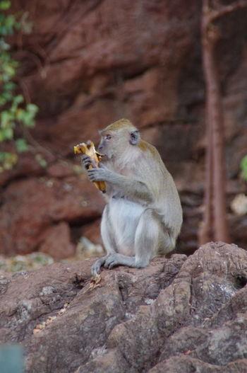 Close-Up Of Monkey Having Banana Outdoors