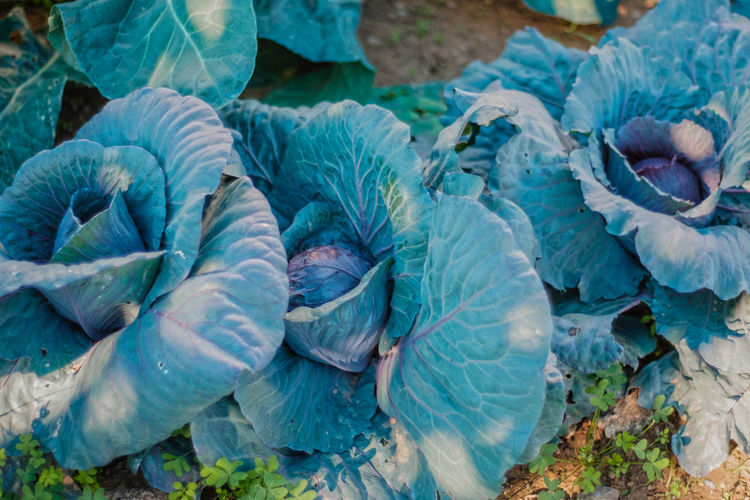 Close-up of cabbages