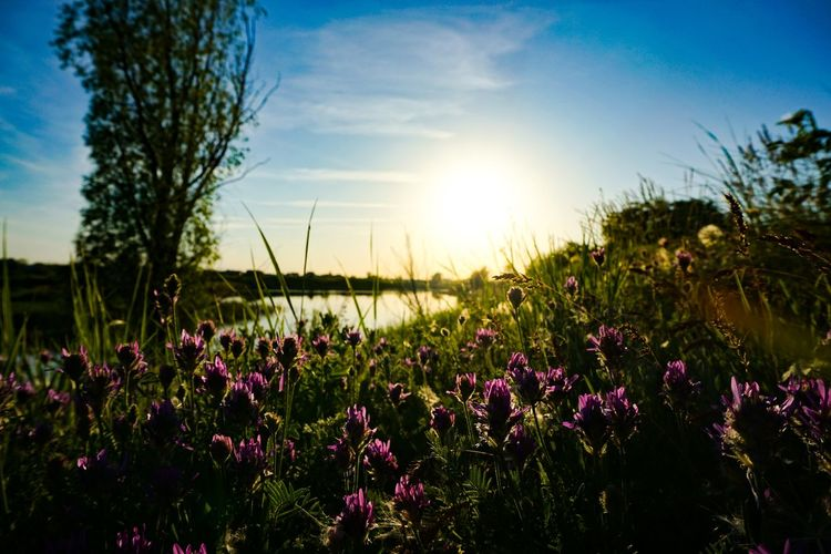 Purple flowering plants on field against bright sun