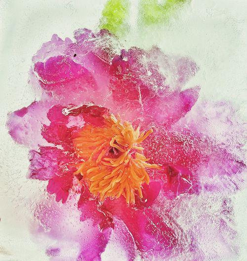 Ice peony Peony  Peony Flower Pink Flower Ice Pink Petals