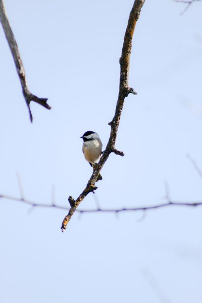 Black-capped Chickadee Yardbird Animals In The Wild Bird Nature No People Bare Tree Outdoors Day Branch