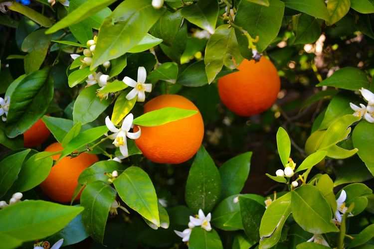 Close-up of blossoms and fruits on orange tree at orchard