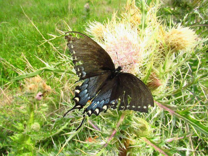 swallowtail on