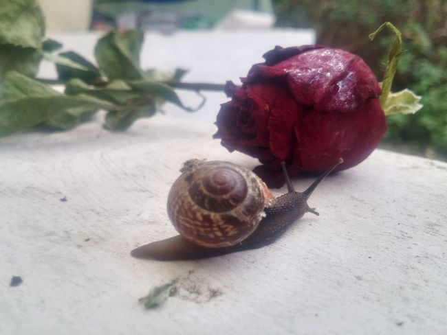 Schnecke und Rose No People Nature Plant Animal Tiere♡ Animal_collection Animal Photography Snail Collection Snail Photography Snailhouse Snails🐌 Snail ❤ Schnecke Mit Haus Schneckenhaus Schnecken Outdoors Snail Rosé Flowers,Plants & Garden Flowers, Nature And Beauty Flowerstagram Flower Head Roses🌹 Rose🌹 Rose♥